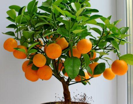 Citrusovník pěstování