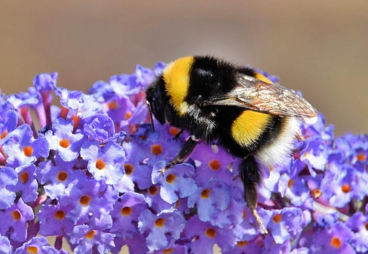 Kromě včel láká svým pylem buddleja také motýly, díky kterým získala již zcela zlidovělé označení Motýlí keř.
