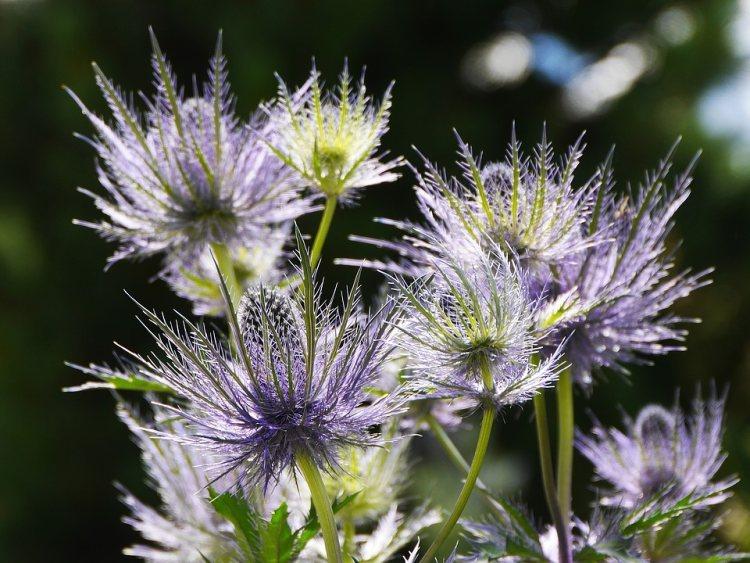 Tento velmi nenáročný okrasný bodlák patří mezi vzhledově nejatraktivnější medonosné rostliny tuzemských zahrádek.