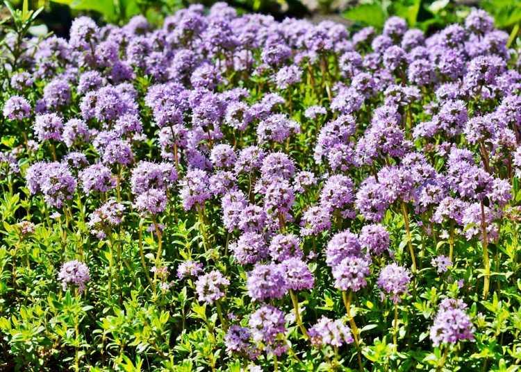 Kvetoucí mateřídouškové koberce každoročně ožívají návštěvami pyl sbírajících včel.