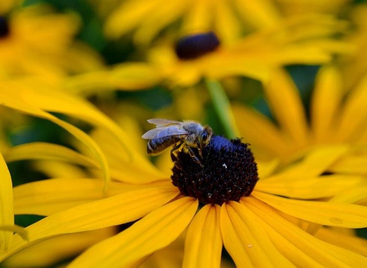 Rudbekie dovede potěšit nejen včely svým pylem, ale i nás výraznými květy a to jak na záhoncích tak ve vázách.