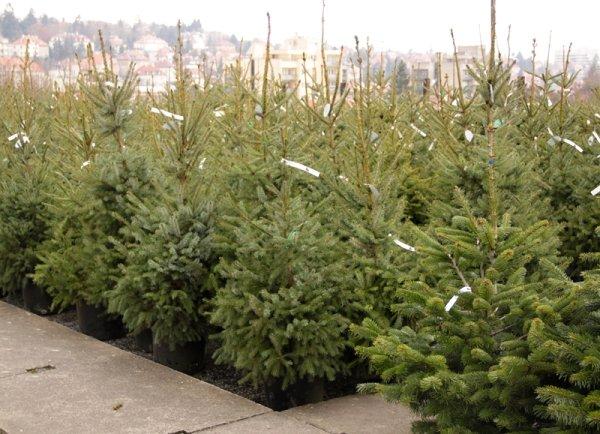 nákup vánočního stromku